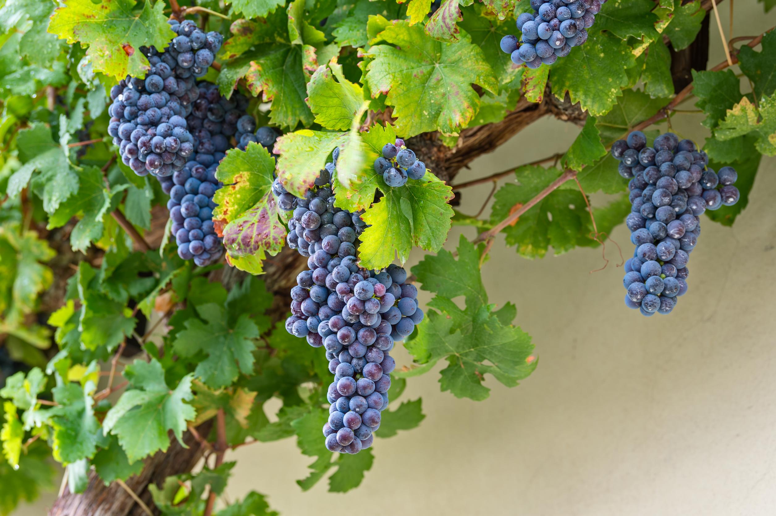 Tómate un vino junto a la vid más antigua del mundo - Croacia Circuito Croacia y Eslovenia