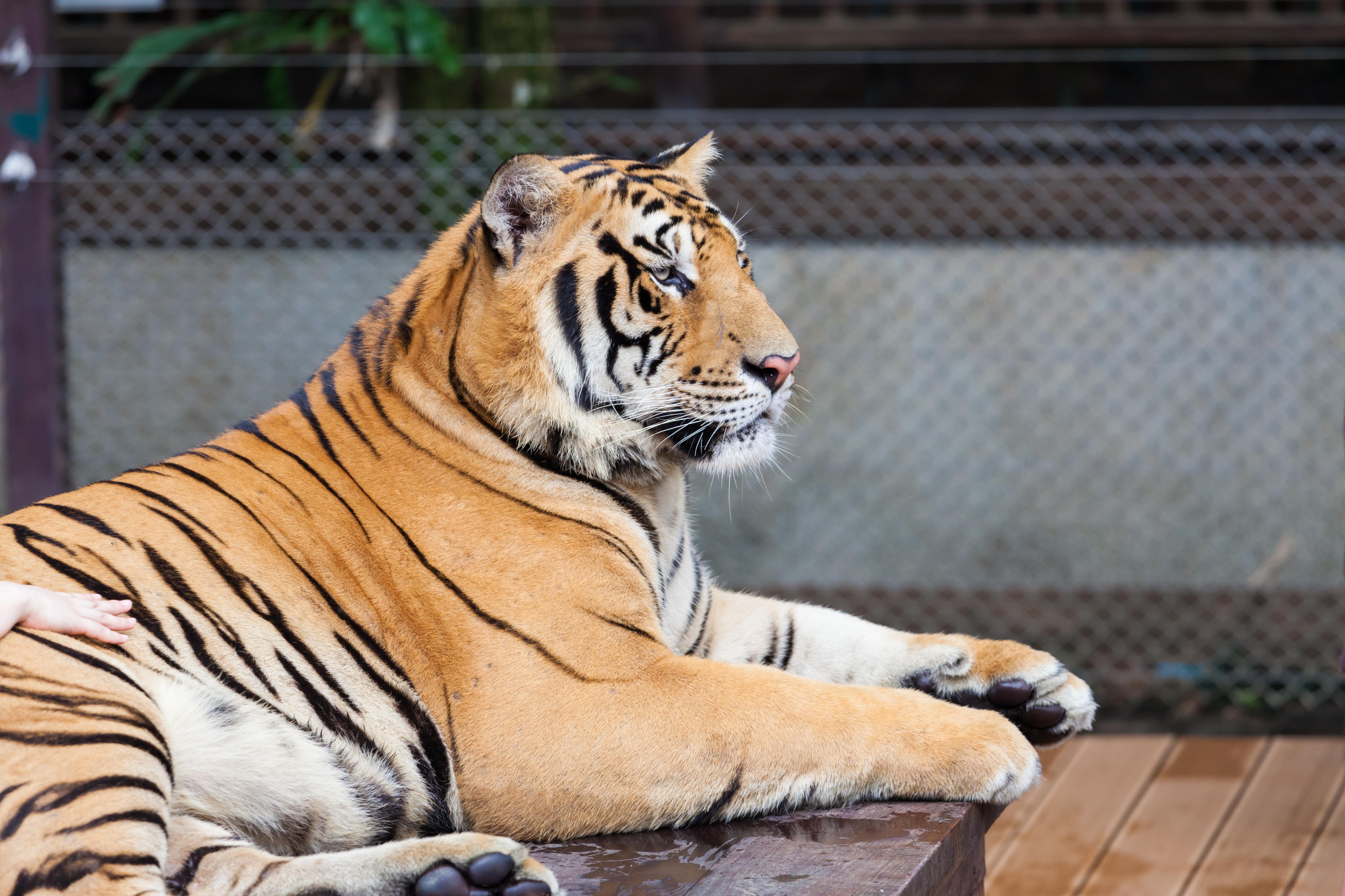 ¿Alguna vez has tocado un tigre? - Tailandia Gran Viaje Bangkok y Phuket