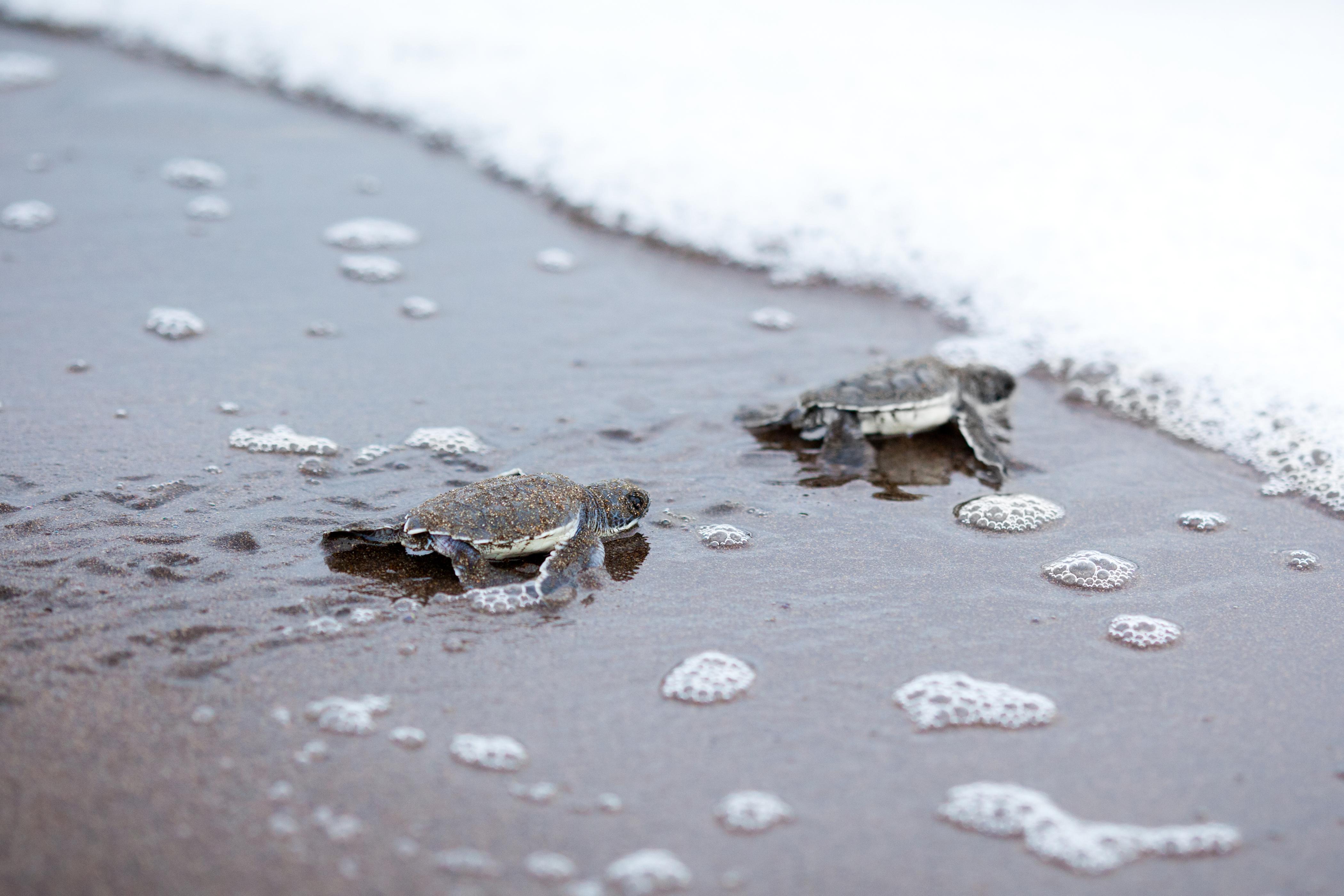 Disfruta del espectáculo de las tortugas - Costa Rica Gran Viaje Tortuguero, Arenal y Monteverde