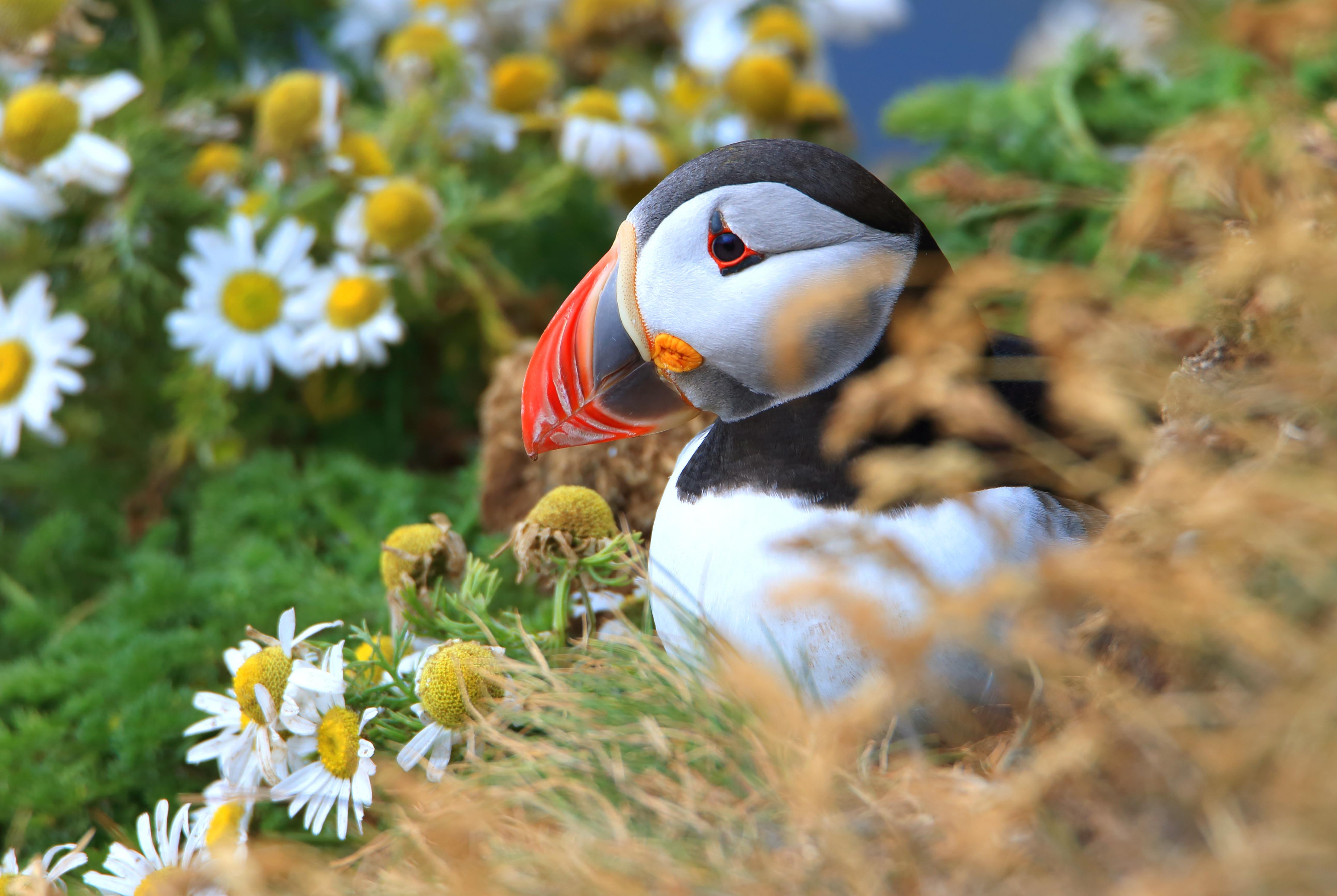 El adorable frailecillo enamorado de Islandia - Islandia Circuito Islandia Fantástica