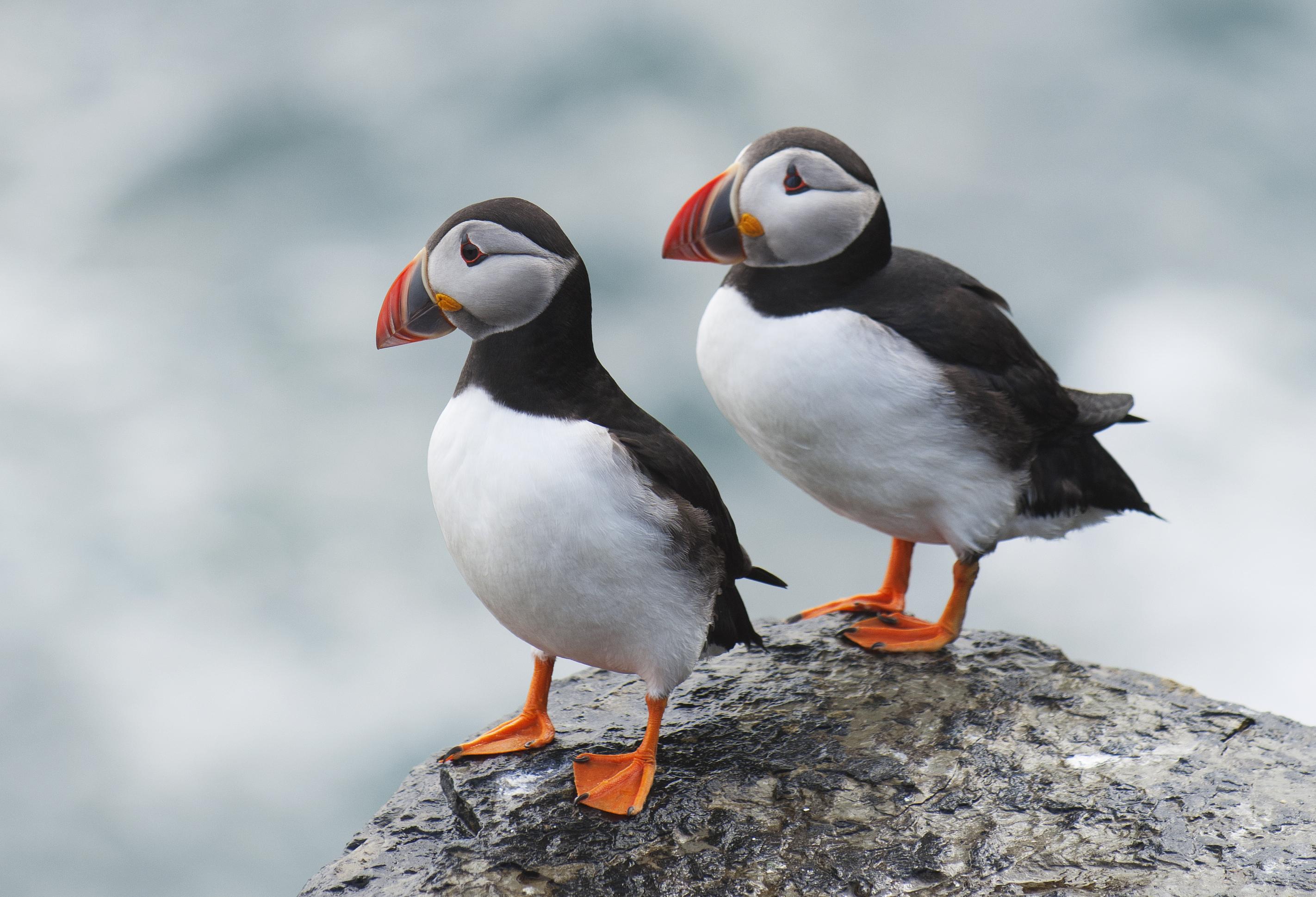 El encanto de un animal que adora Islandia - Islandia Circuito Islandia Fascinante