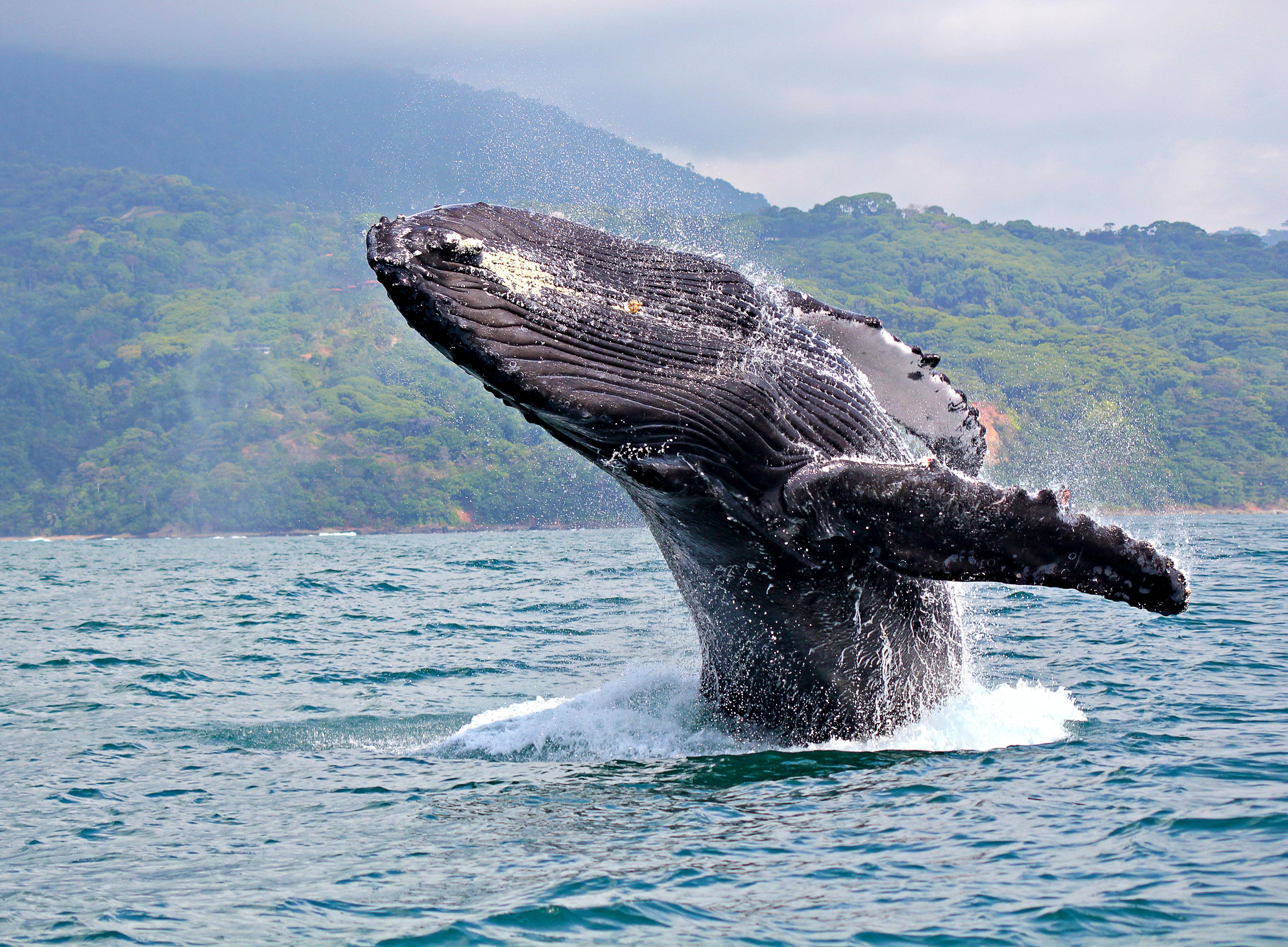 Contempla a las ballenas en su momento más íntimo - Costa Rica Gran Viaje Tortuguero, Arenal, Monteverde y Manuel Antonio
