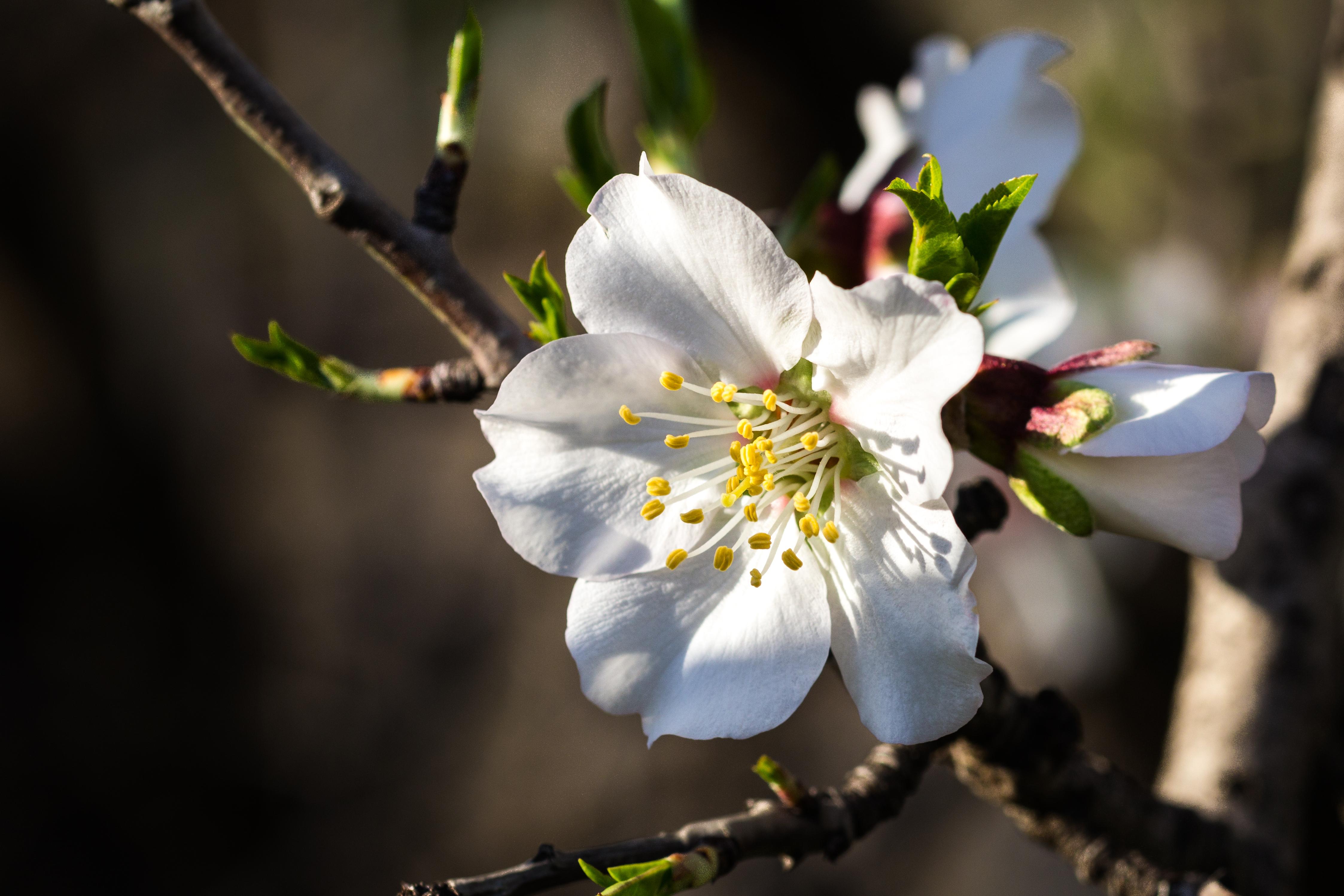 La tradición de Sicilia, concentrada en la flor del almendro - Italia Circuito Descubre Sicilia
