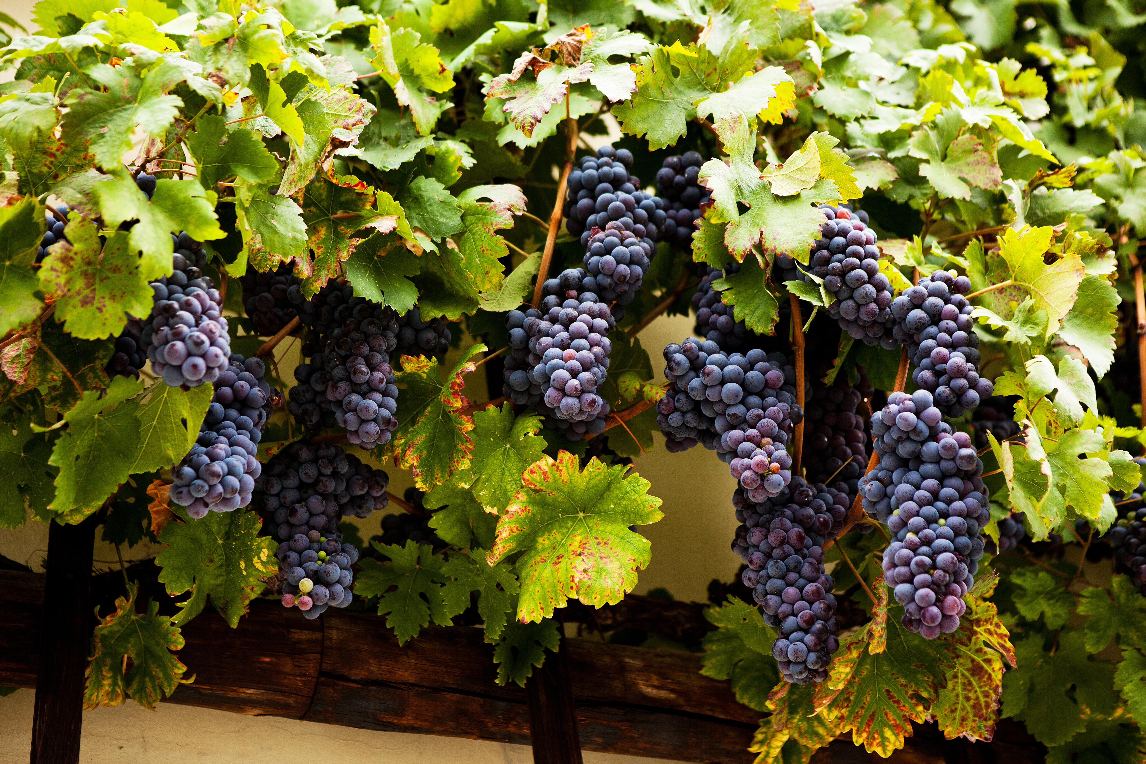 ¿Te apetece probar el vino más 'antiguo' del mundo? - Croacia Circuito Croacia y Eslovenia