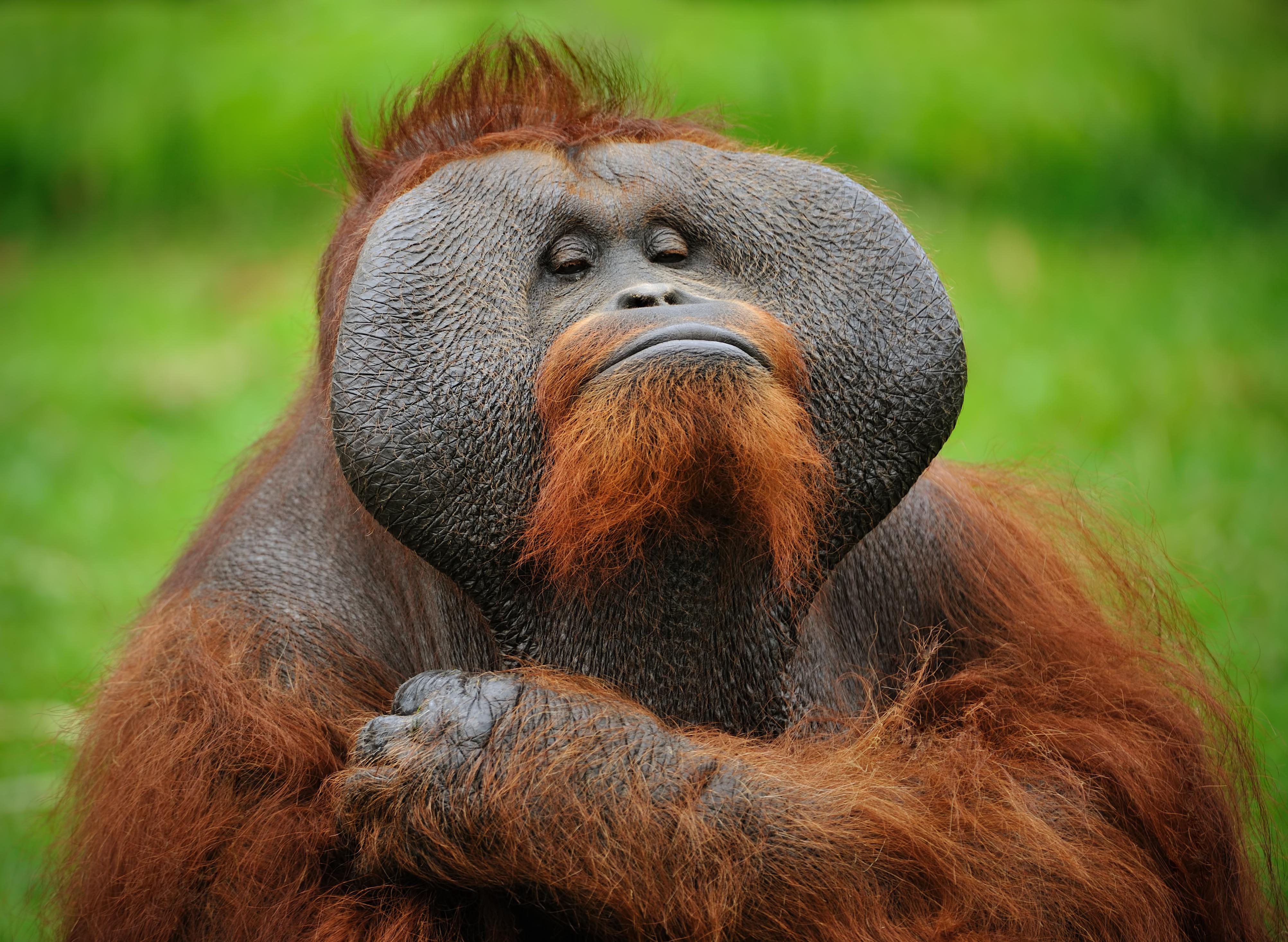 Conoce de cerca a los orangutanes malayos - Malasia Gran Viaje Malasia Peninsular